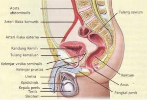 Cara kerja sistem reproduksi pria