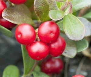 Ekstak bearberry pemutih wajah alami